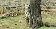 Sub-adult tiger arrow head smelling on the woods and walking towards the camera. Background fallen tree trunks and wooden sticks around the site