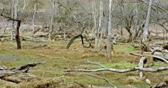 Tiger walking through the wooded area and watching around. fallen tree trunks and wet field around the site.