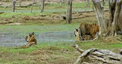 Tiger mother with her Sub-adult cub sitting on water and watching around. Another one sub-adult walking towards the mother and sitting behind the woods.