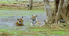Tiger mother with her sub-adult cub sitting at wetland and watching around.
