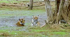 Tiger mother with her sub-adult cub sitting at wetland and watching around, looks at camera.