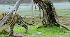 Sub-adult tiger walks out through the woods near wetland.