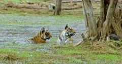 Tiger mother with her sub-adult cub sitting on wetland near the woods. Mother and cub looks at camera and watching around.