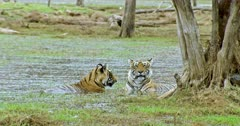 Tiger mother sitting on wetland near the woods. Near by sub-adult male cub stands up and rubbing face with mother.