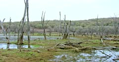Tiger mother resting with her sub-adult cub on wetland. Fallen tree trunks and wooden sticks on the water field.