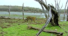 Sub-adult tiger walking through the grass field near the wetland and crossing behind the woods.