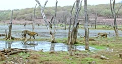 Three Sub-adult tigers walking, roaming around through the wetland and one of them sitting behind.