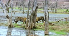 Two Sub-adult tigers walking at wetland and crossing each other behind the woods. Another one sub-adult sitting behind the woods.