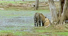 Tiger mother sitting at wetland behind the woods and her sub-adult cub rubbing face, cuddling.