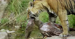 Aggressive male tiger standing on rocks at water's edge.,he bits on kill neck and holding.