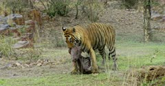 Aggressive male tiger bitting on kill neck and walking, dragging on the grass field.