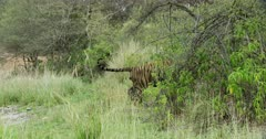 Aggressive male tiger bitting on kills neck and dragging into the bushes.