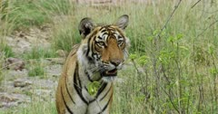 Sub-adult tiger arrow head standing at bushes and looking alert. Then walking away through the bushes.