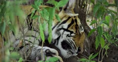 Sub-adult tiger lying down and resting in bushes under the shadow of tree.