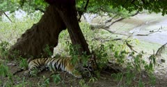 Sub-adult tiger lying down at shadow of wood and sleeping. Background wet area next to the woods.
