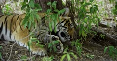 Sub-adult tiger lying down at under the shadow of tree and sleeping.