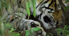 Sub-adult tiger lying down at bushes under the shadow of tree and sleeping.