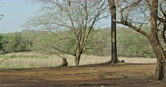Sub-adult tiger sitting at under the shadow of the tree and watching away.