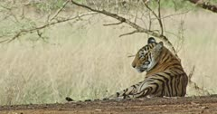 Sub-adult tiger Arrow head sitting at shadow of the woods and watching around, looks at the camera.