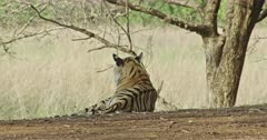 Sub-adult tiger Arrow head sitting at under shadow of the woods and watching away.