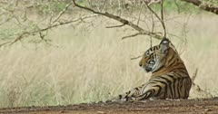 Sub-adult tiger Arrow head sitting at under shadow of the woods and rising its tail