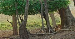 Sub-adult Tiger arrow head walking at wooded area and crossing behind the trees. Tiger smelling on the tree and showing funny face, marking territory.