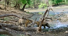 Tiger mother walking towards her cub near the lakeshore. Sub-adult cub walking at water's edge and looking at mother, rubbing face. Then Mother and cub walks into water.