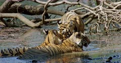 Tiger mother with two sub-adult cubs in pond water and resting. One sub-adult rubbing face with mother and sibling, keeping paw on mothers head. Mother Tiger turning into the camera.