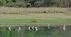 Tiger walking across near the lakeshore. Flock of Egret birds standing at water and watching around.