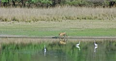 Tiger walking at the water's edge and growling then moving across the lakeshore.