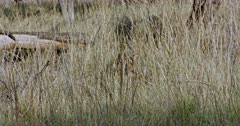 Tiger walking through the tall grass bushes and heads up looking around.