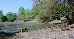 Tiger walking across near the water's edge.