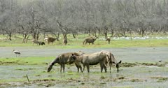 Group of sambar deers and spotted deers standing at wetland and grazing. Background flock of egret birds foraging food in water.