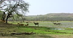 Group of spotted deers grazing at the shadow of woods and sambar deers grazing at wetland. Background flock of egret birds foraging food in water. Langur monkeys sitting on the tree branch.