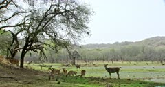 Group of spotted deers grazing at the shadow of woods and sambar deer standing near by. Wild boar grazing at behind. Some of stork birds foraging food in water field. Langur monkeys sitting on tree branch.
