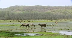 Group of sambar deers walking and grazing at wetland. Background flock of egret birds foraging food. Egret birds foraging food in water field.