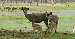 Two Sambar deers standing near the wetland and looking at camera, looks down. Two Spotter deer fawn grazing in front of sambar deers. Background group of wild boars roaming around the site.