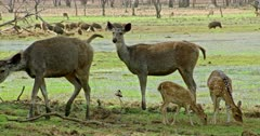 Two Sambar deers standing near the wetland and looking around, walks away. Near by Two Spotter deer fawn grazing. Background group of wild boars roaming around the site.