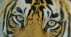 Sub-adult Tiger looking at camera.
