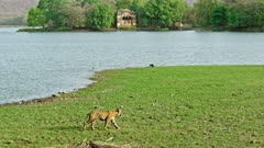 Tiger walking across the lakeshore. Background Ranthambore national park ancient fort covered by banyan trees.