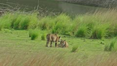Sub-adult cub running towards the mother and rubbing face. Tiger mother playing with cub and lying down, roll over on the grass field.