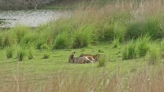 Tiger mother lying down and feeding milk to her sub-adult cub at grassland.