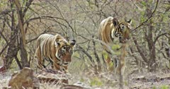 Tiger mother and sub-adult male tiger walking at wooded area towards the camera and breathing heavily, then moving out of the frame.