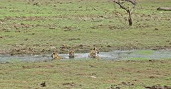Tiger mother and three sub-adult cubs sitting at small water pool and resting.