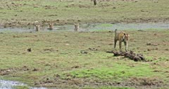 Tiger mother walking through grass field at wetland and moving out of the frame. Behind three sub-adult cubs sitting at water pool and looking its mother.
