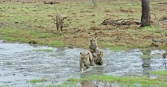 Tiger mother walking through water field at wetland towards the camera. Three Sub-adult cubs following at behind. One of them running into mother and thrashing water. Sub-adult cub rubbing face with mother then mother gets angry growling to cub.