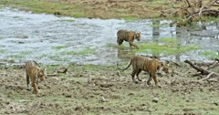 Three Sub-adult tigers walking at wetland and looking around.