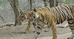 Tiger mother and sub-adult cub walking through the wooded area and moves out of the frame.