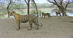 Tiger mother standing and raising up her tail. Background sub-adult cubs standing under the woods and looking around.