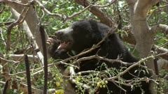 Sloth bear sitting on the tree branch and eating Indian Laburnum fruit